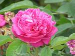 Rose Oil: The Beauty of Roses and Roses in Beauty